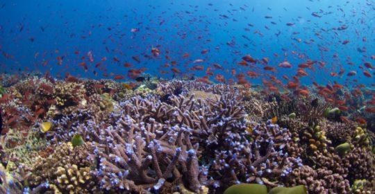 La fertilización in vitro podría ayudar a restaurar los arrecifes de coral vulnerables